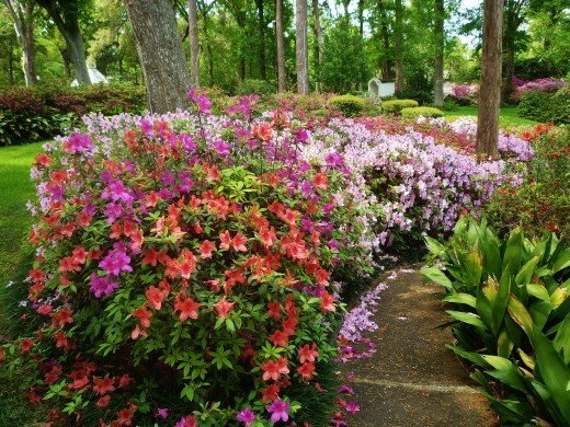 Azaleas Fertilization And Care After Blooming Tom S